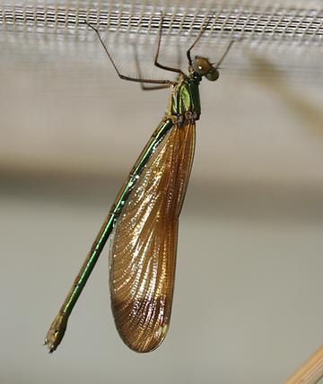Calopteryx.png