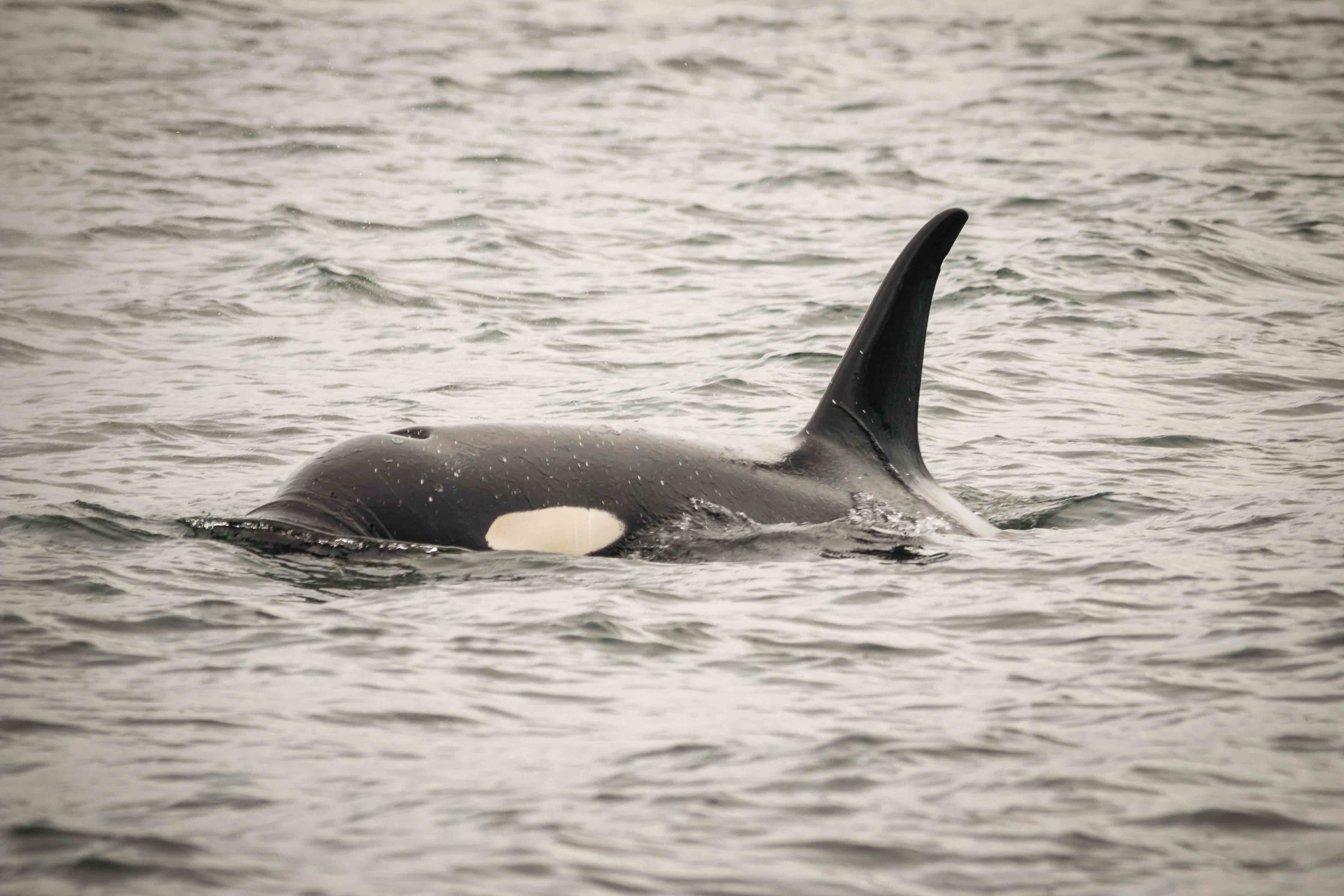 Orca Whales Frequent Our Waters