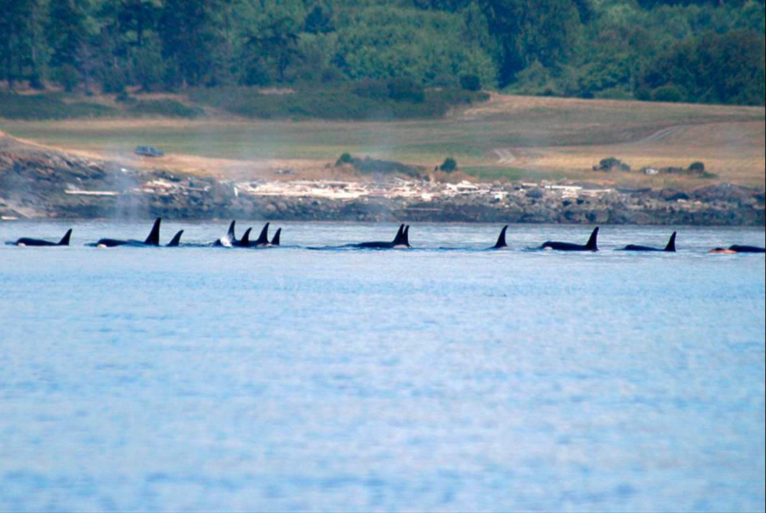 Orca Swimming Near the Island