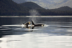 Mom and Baby Orca One Early Morning