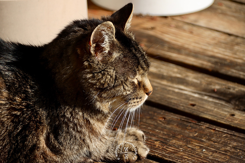Tabby cat on a wooden deck