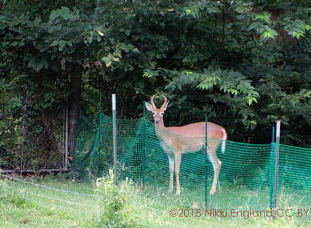 Yearling Buck in the Back Yard