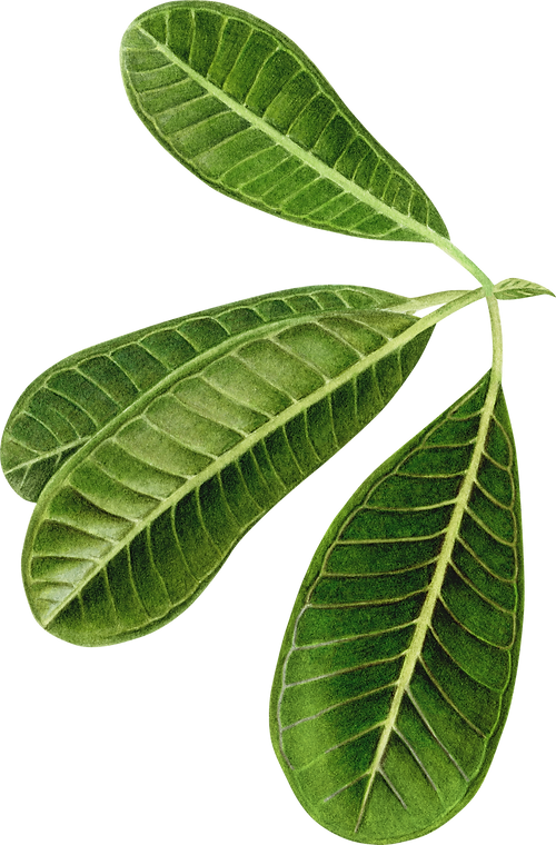 Foliage_Final__Plumeria-Leaves.png