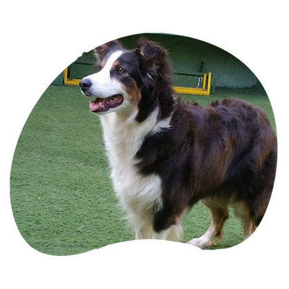 border collie 7.png