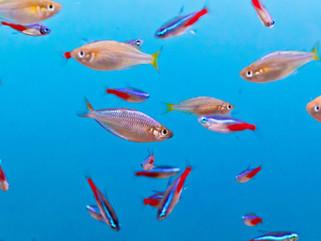 O crescimento da piscicultura ornamental