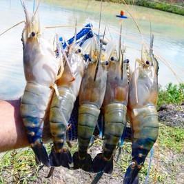 Obtenha sucesso na produção de camarões de água doce