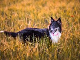O cão como colaborador do trabalho no campo