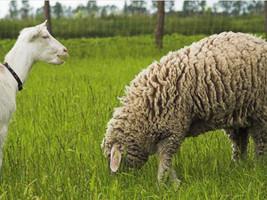 Você sabe como escolher o pasto ideal para caprinos e ovinos?