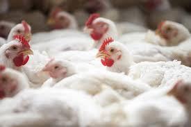 A biosseguridade na avicultura de corte