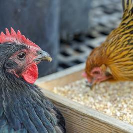 Importância da nutrição e o uso de enzimas como forma na redução dos custos na produção avícola