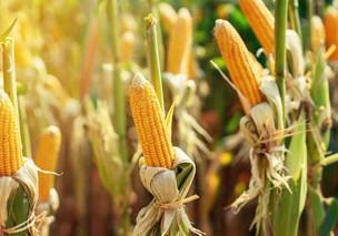 O milho e suas variáveis