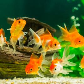 A importância dos cuidados básicos na piscicultura ornamental