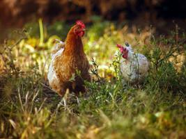Avicultura: a galinha dos ovos de ouro do agronegócio
