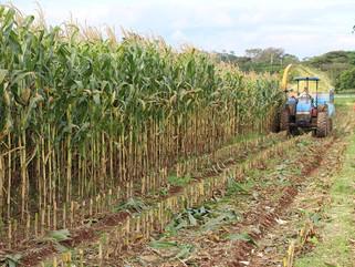 A Importância da produção de silagem em tempos de seca