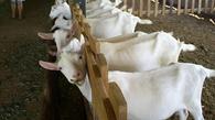 A importância de formulação de dietas para as diferentes categorias na caprinocultura leiteira