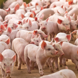 A suinocultura tem a carne do momento