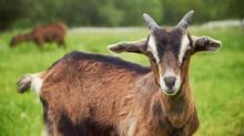 Novas oportunidades renovam planos para a caprinocultura no Brasil