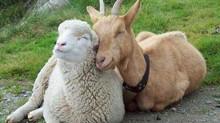 Importância do Flushing alimentar como estratégia reprodutiva em caprinos e ovinos.