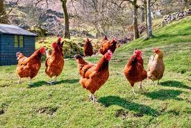 Afinal, qual a diferença entre avicultura orgânica e caipira?!
