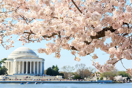 Cherry blossom festival at Thomas Jeffer