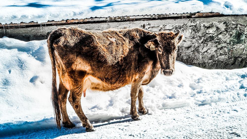 Catch Cow around Mestia พาทัวร์ดูวัวที่จอร์เจีย