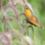 Gatekeeper butterfly, Go Be Wild, Barbara Copperthwaite