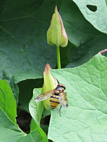 Hoverfly, Barbara Copperthwaite, Go Be Wild