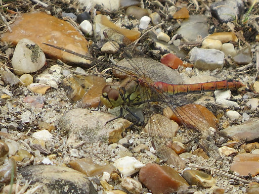 Common Darter Dragonfly, Go Be Wild, Barbara Copperthwaite