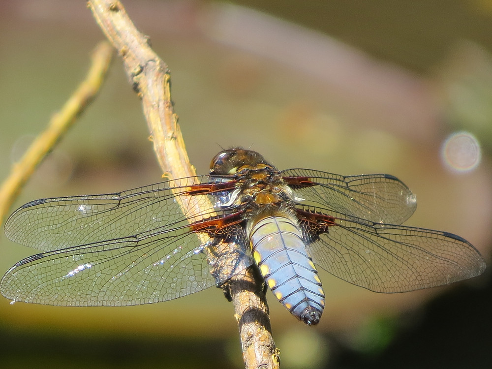 Broad-bodied chaser, Barbara Copperthwaite, Go Be Wild