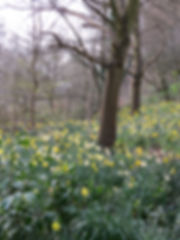 Daffodils at Highbury Park, by Barbara Copperthwaite, Go Be Wild