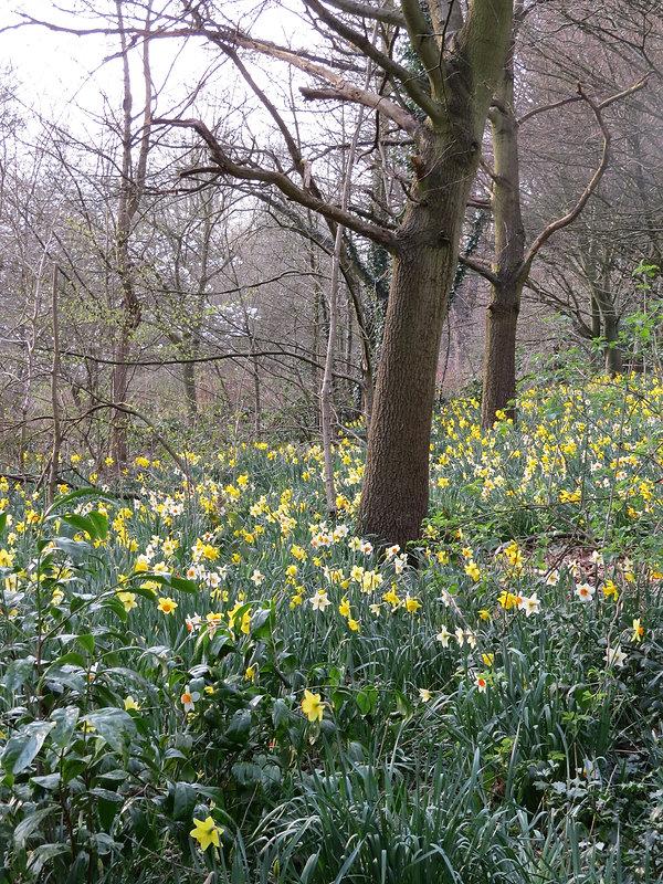 Daffodils at Highbury Park, by Barbara Copperthwaite, Go Be Wild