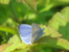 Holly Blue, Go Be Wild, Barbara Copperthwaite
