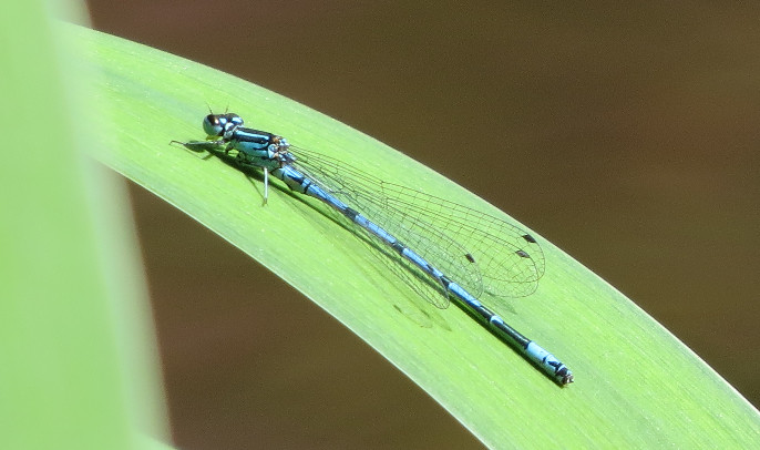 Azure Blue damselfly, Barbara Copperthwaite, Go Be Wild