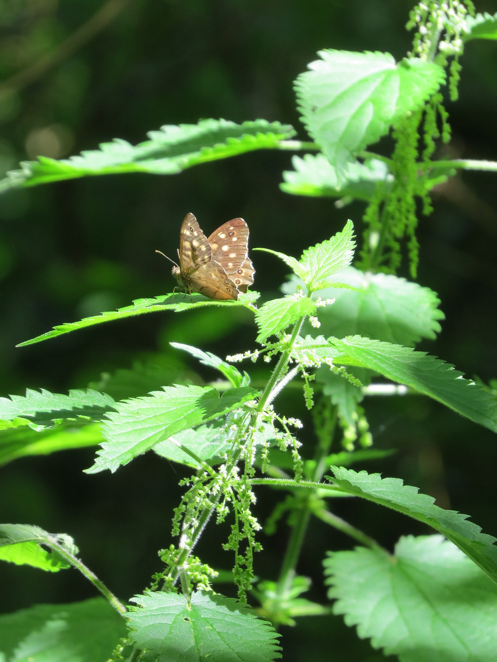 Speckled Wood butterfly, Barbara Copperthwaite, Go Be Wild