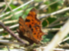 Comma butterfly, by Barbara Copperthwaite, Go Be Wild