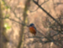 Kingfisher, by Barbara Copperthwaite, Go Be Wild