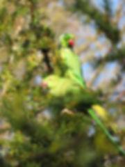 Ring-necked parakeets in Highbury Park, Go Be Wild, Barbara Copperthwaite