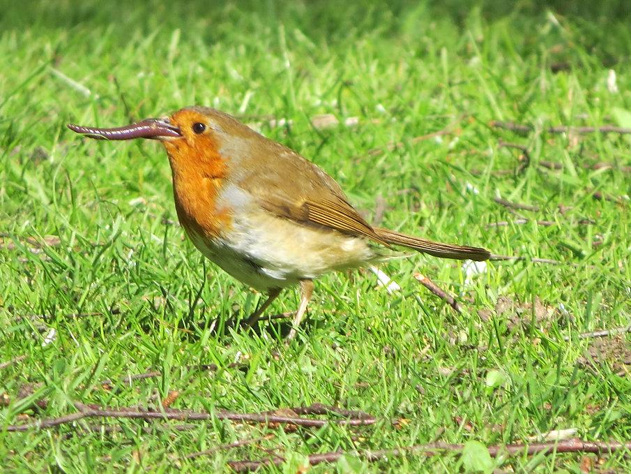Robin eating worm, Go Be Wild, Barbara Copperthwaite