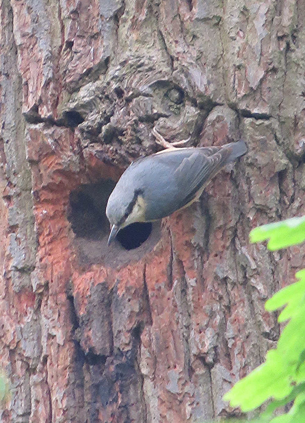 Nuthatch nest-building, Barbara Copperthwaite, Go Be Wild