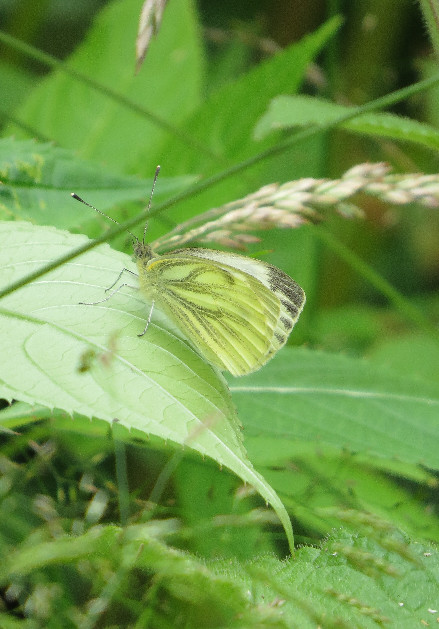 Green-veined white, Barbara Copperthwaite, Go Be Wild
