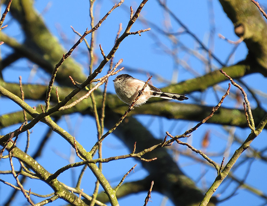 Long-Tailed Tit, by Barbara Copperthwaite, Go Be Wild