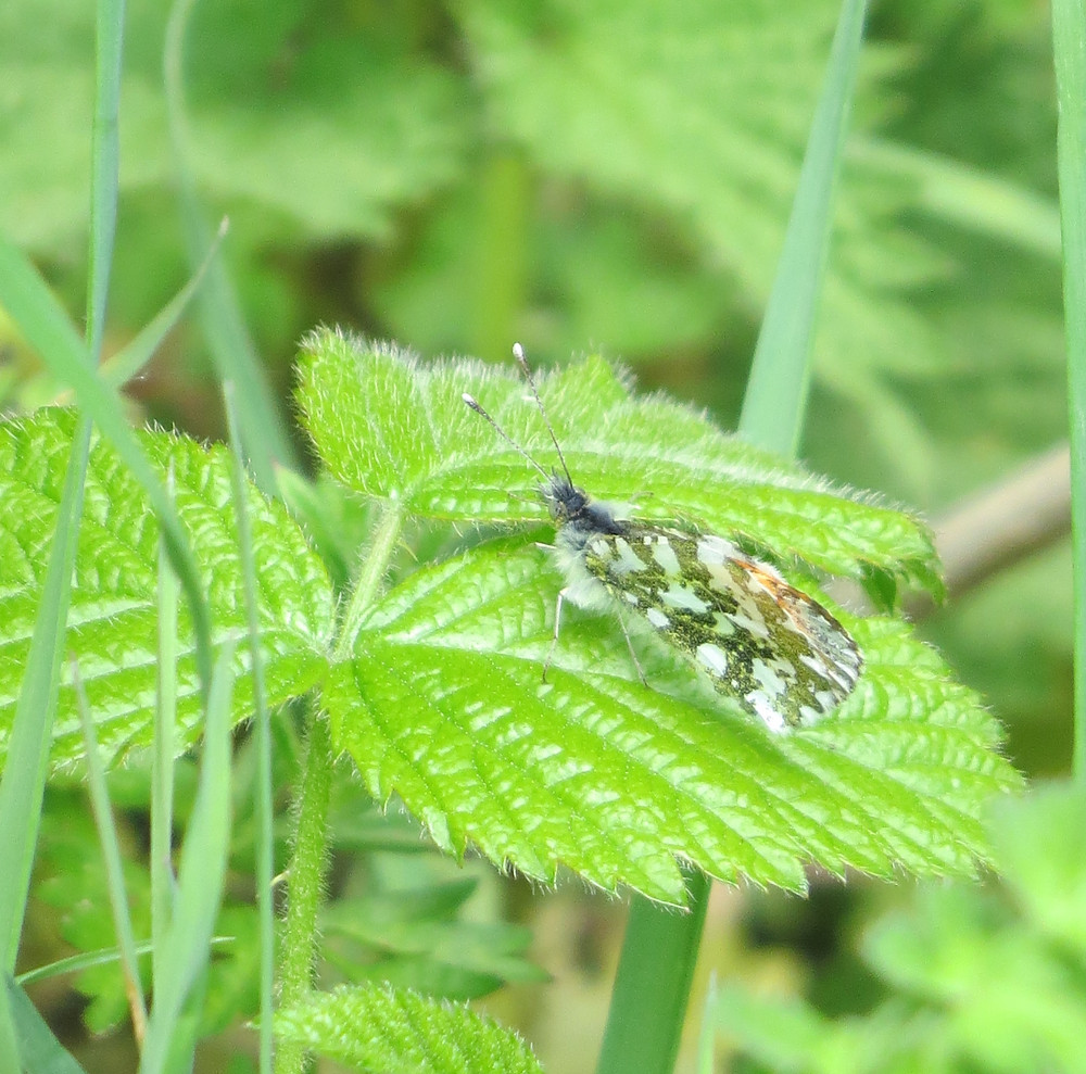 Orange Tip's mottled underwing