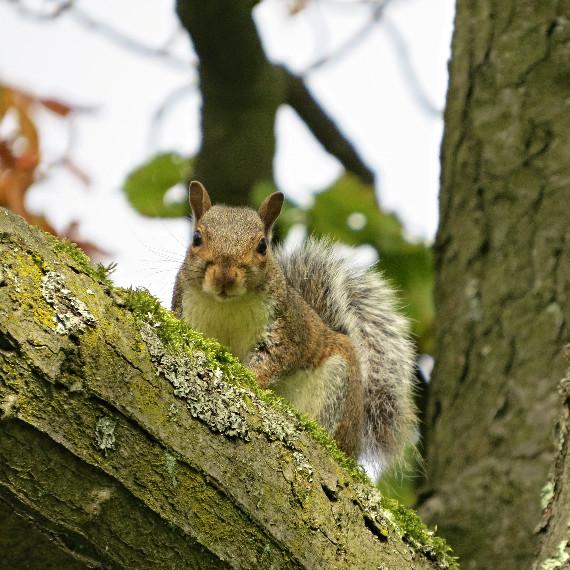 Grey squirrel, Barbara Copperthwaite, Go Be Wild