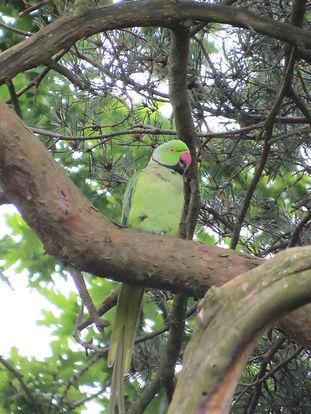 Ring-necked parakeet, Highbury Park, Birmingham. Photo: Barbara Copperthwaite