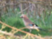 Jays are vital for oaks, Barbara Copperthwaite, Go Be Wild