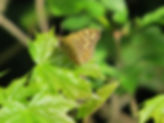 Speckled Wood butterfly, Go Be Wild, Barbara Copperthwaite