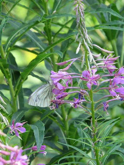 Wooded White butterfly, Barbara Copperthwaite, Go Be Wild