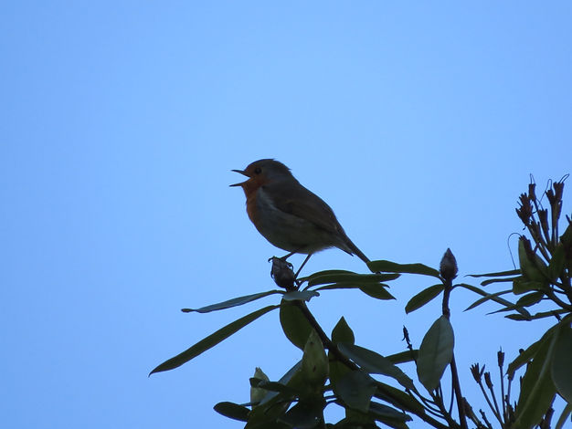 Robin singing, Go Be Wild, Barbara Copperthwaite