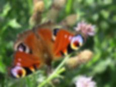 Peacock, Barbara Copperthwaite, Go Be Wild