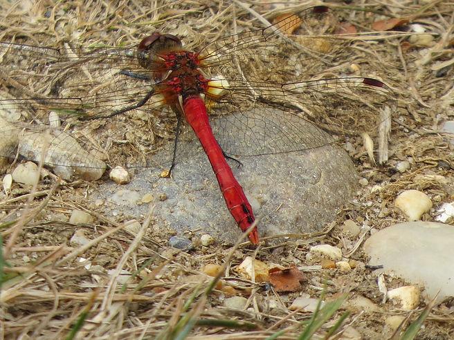 Ruddy Darter dragonfly, Barbara Copperthwaite, Go Be Wild